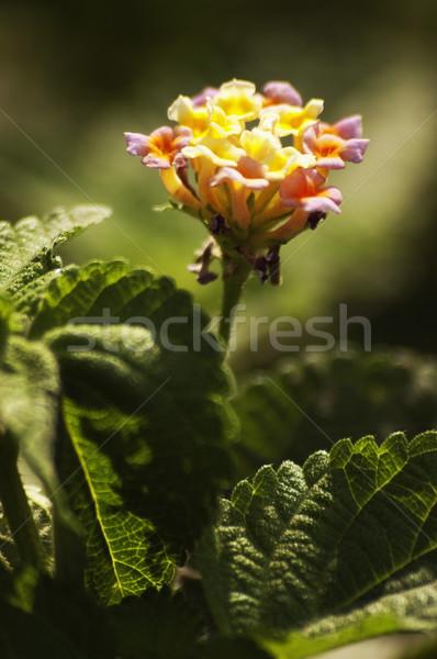 Fleur new delhi Inde feuille usine Photo stock © imagedb
