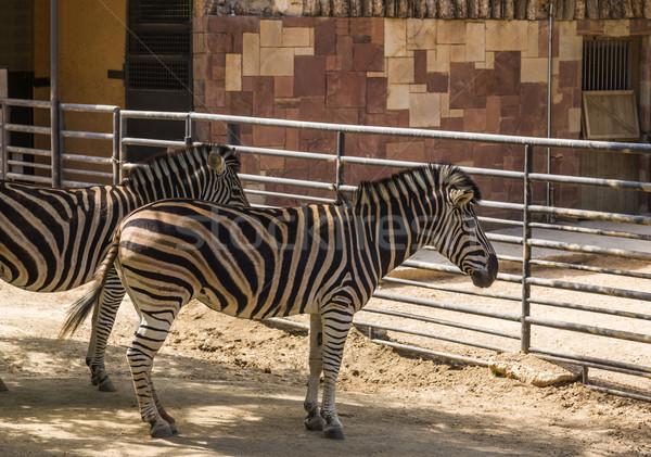 Zebras jardim zoológico Barcelona cerca sombra ao ar livre Foto stock © imagedb