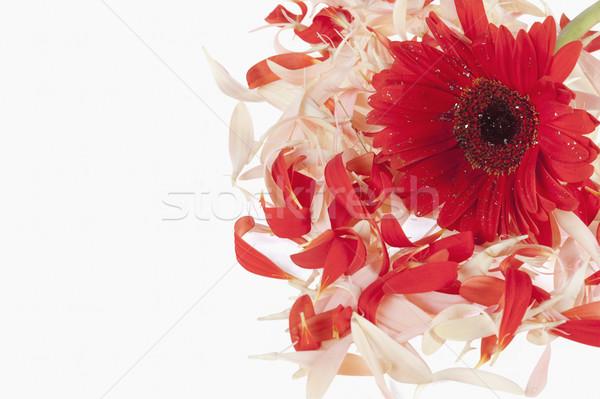 Daisy цветок природы белый горизонтальный Сток-фото © imagedb