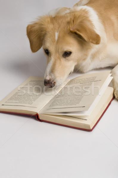 Kutya olvas könyv fotózás fehér háttér emlős Stock fotó © imagedb