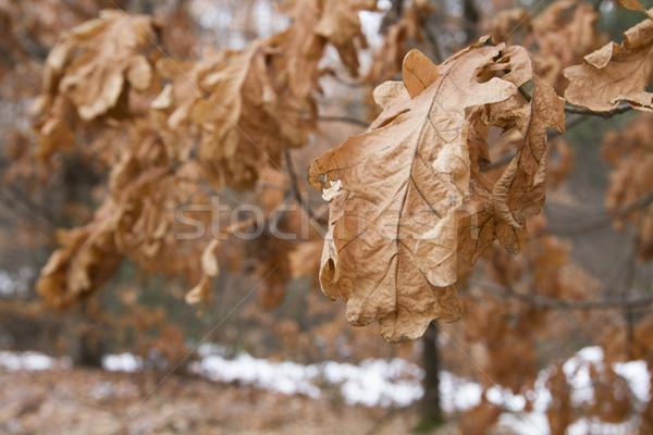 высушите лист Индия осень завода Сток-фото © imagedb