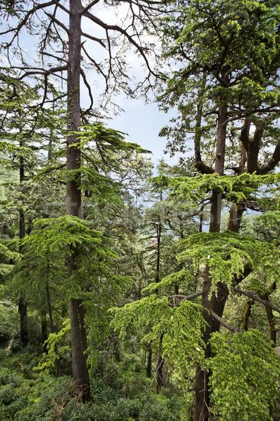 Trees in a forest, Shimla, Himachal Pradesh, India Stock photo © imagedb