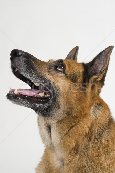 Stok fotoğraf: çoban · köpek · Evcil · beyaz · arka · plan · yakın · çekim