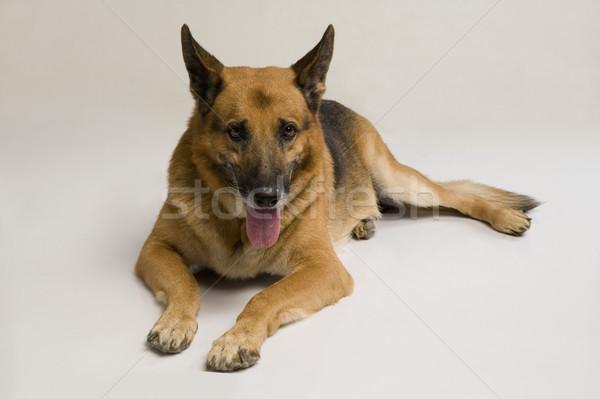 Pastor cão animais de estimação sessão horizontal Foto stock © imagedb