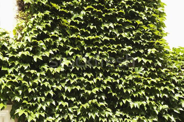 Közelkép borostyán Oxford Oxfordshire Anglia levél Stock fotó © imagedb