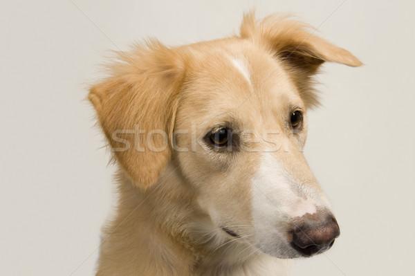 Chien animaux de compagnie horizontal mammifère Photo stock © imagedb