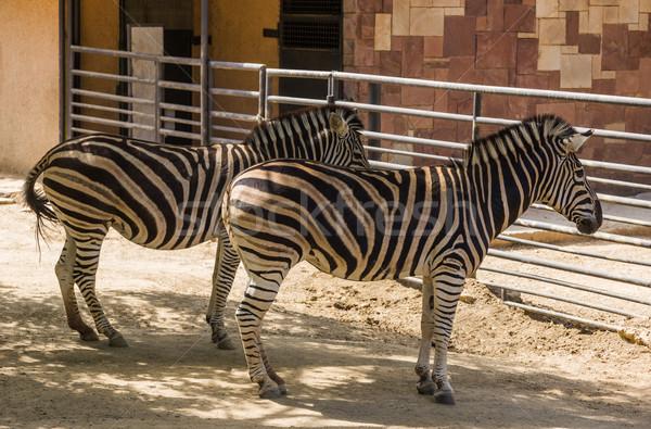Chapman's zebras (Equus quagga chapmani) in a zoo Stock photo © imagedb