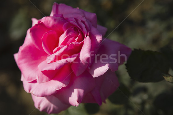 Розовые розы цветок завода роста фотографии Сток-фото © imagedb