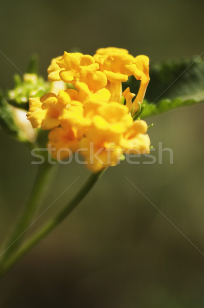 Fleur new delhi Inde usine jaune Photo stock © imagedb