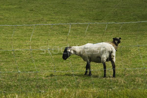 2 羊 丘 公園 共和国 アイルランド ストックフォト © imagedb