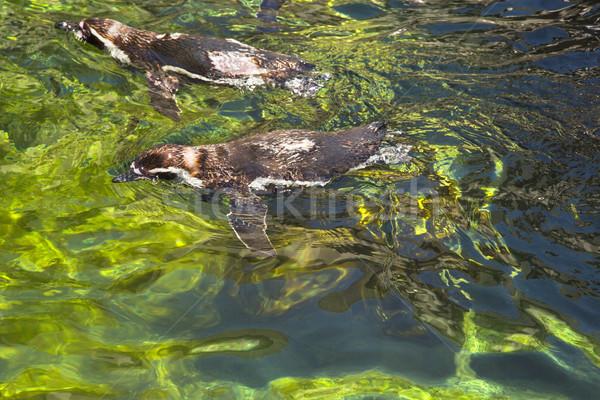 High angle view of Humboldt penguins (Spheniscus Humboldt) swimm Stock photo © imagedb