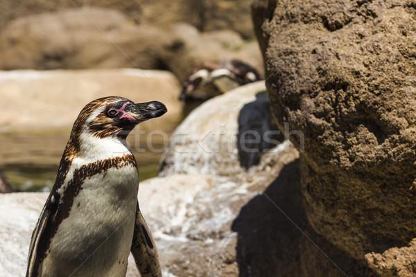 Humboldt Penguin (Spheniscus Humboldt) in a zoo Stock photo © imagedb