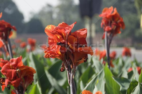 Fleurs jardin new delhi Inde Photo stock © imagedb