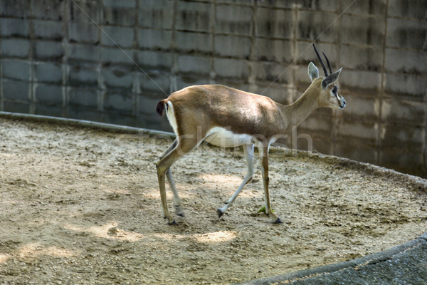 Gazelle in a zoo Stock photo © imagedb