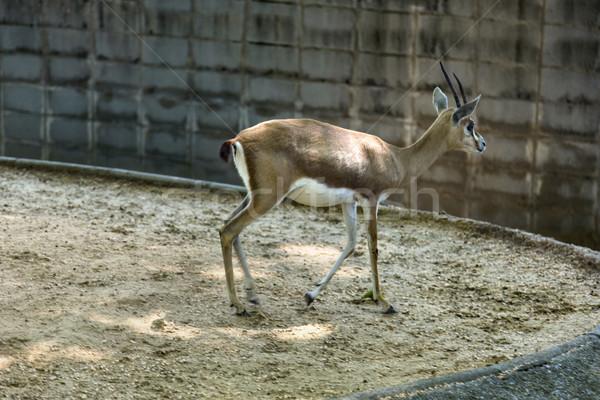 Gazela jardim zoológico Barcelona veado fotografia Espanha Foto stock © imagedb