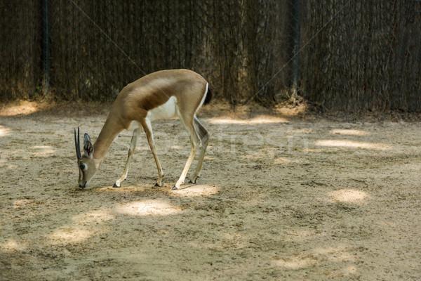 газель зоопарке Барселона оленей фотографии Испания Сток-фото © imagedb