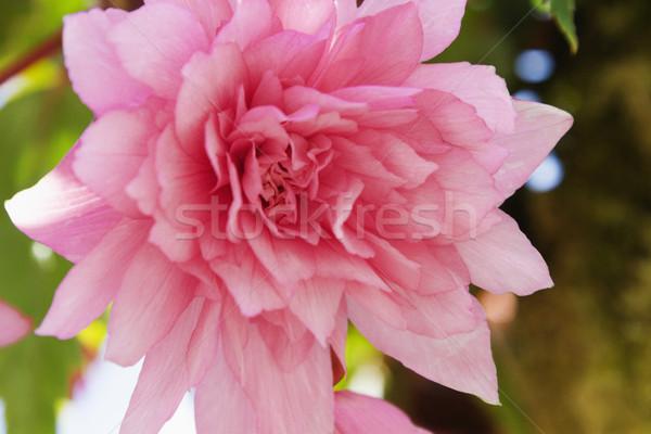 Közelkép rózsaszín virág virág növény rózsaszín fotózás Stock fotó © imagedb