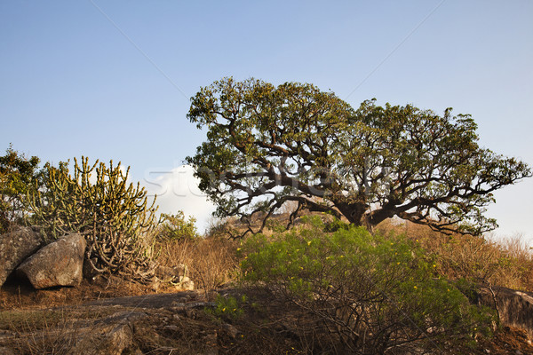 Trees at Guru Shikhar, Arbuda Mountains, Mount Abu, Sirohi Distr Stock photo © imagedb