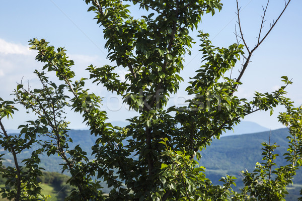 Close-up of a tree with hills in the background Stock photo © imagedb