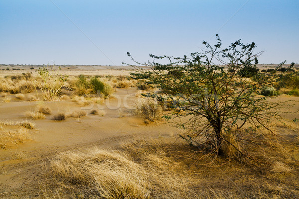 Grass with plant growing on sand dunes, Jaisalmer, Rajasthan, In Stock photo © imagedb
