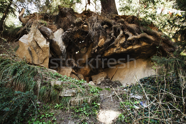 Low angle view of roots of a tree, Manali, Himachal Pradesh, Ind Stock photo © imagedb