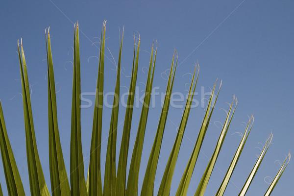 Közelkép pálmalevelek kert öt Új-Delhi levél Stock fotó © imagedb