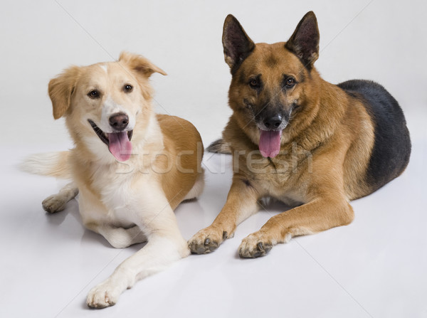2 犬 座って 一緒に ペット 水平な ストックフォト © imagedb