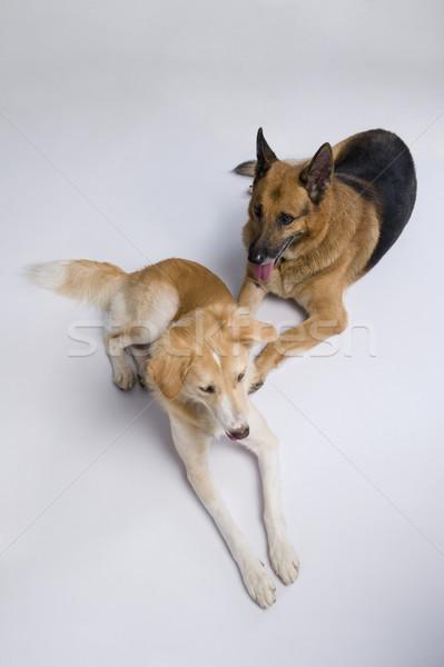 Kettő kutyák ül együtt díszállatok fehér háttér Stock fotó © imagedb