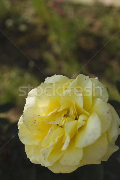Amarelo rosa flor planta crescimento Foto stock © imagedb