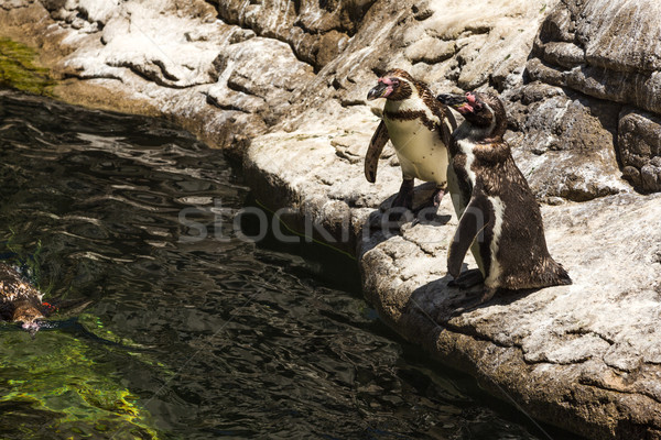High angle view of Humboldt penguins (Spheniscus Humboldt) in a  Stock photo © imagedb