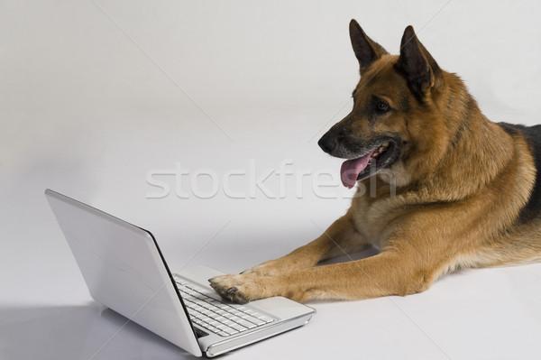 Herder hond met behulp van laptop laptop communicatie huisdieren Stockfoto © imagedb