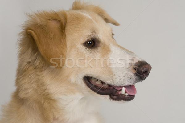 собака домашние горизонтальный белом фоне млекопитающее Сток-фото © imagedb