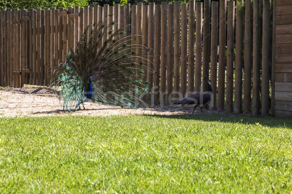 Erkek Hint tüyler Barcelona hayvanat bahçesi tüy Stok fotoğraf © imagedb