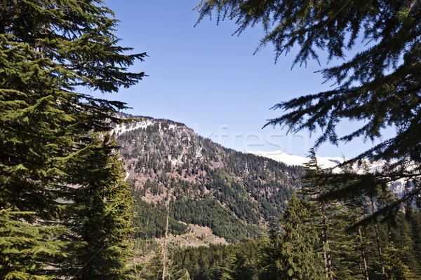 Trees in a forest with mountains in the background, Manali, Hima Stock photo © imagedb