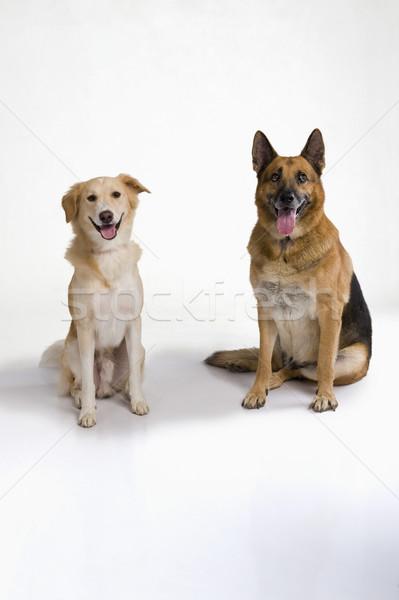 2 犬 座って 一緒に ペット 白地 ストックフォト © imagedb