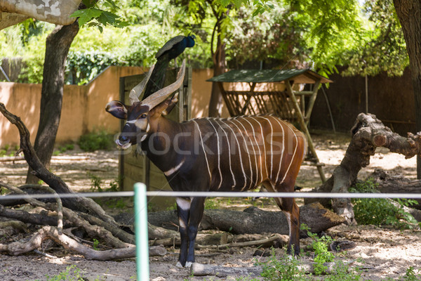 Bongo (Tragelaphus Eurycerus) in a zoo Stock photo © imagedb