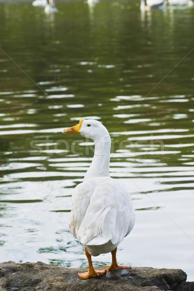 Canard new delhi Inde oiseau Voyage Photo stock © imagedb