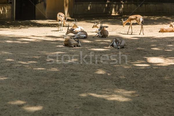 Gazelles in a zoo Stock photo © imagedb