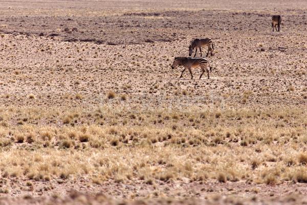 Dağ zebra Namibya çöl Afrika hayvan Stok fotoğraf © imagex