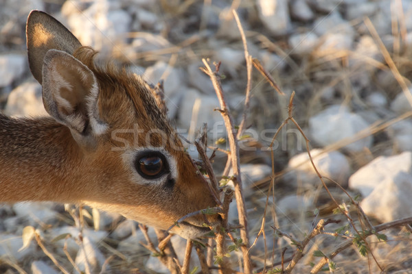 Dik Dik - Etosha Safari Park in Namibia Stock photo © imagex