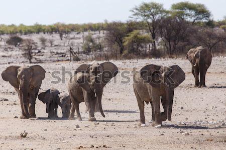 Elephant - Etosha Safari Park in Namibia Stock photo © imagex