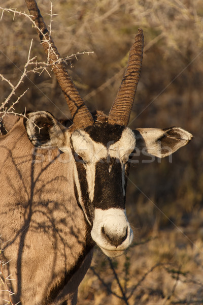 Oryx - Etosha Safari Park in Namibia Stock photo © imagex