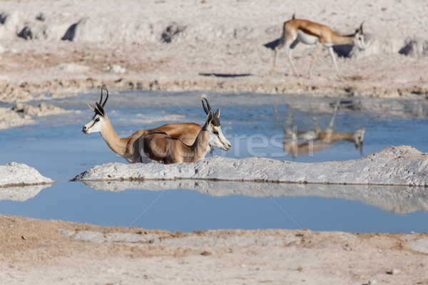 Springbok - Etosha Safari Park in Namibia Stock photo © imagex