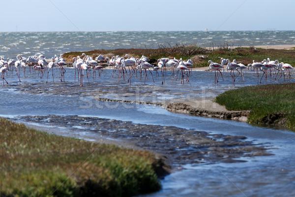 Flamingo Namibya kuş su aile okyanus Stok fotoğraf © imagex