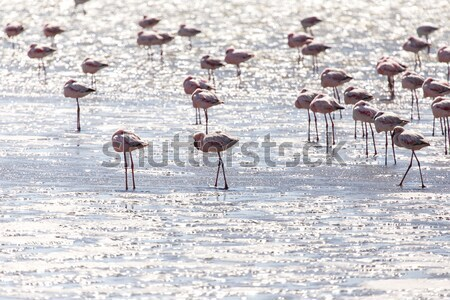 Flamingo - Namibia Stock photo © imagex