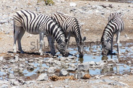 Zebra at Waterhole - Etosha, Namibia Stock photo © imagex