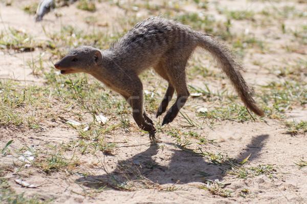 Banded Mongoose - Etosha Safari Park in Namibia Stock photo © imagex