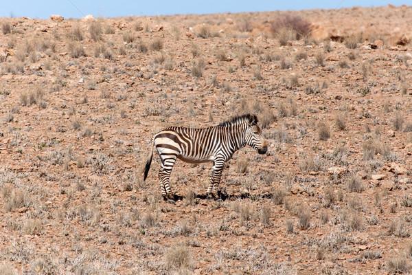 горные зебры Намибия пустыне Африка небе Сток-фото © imagex