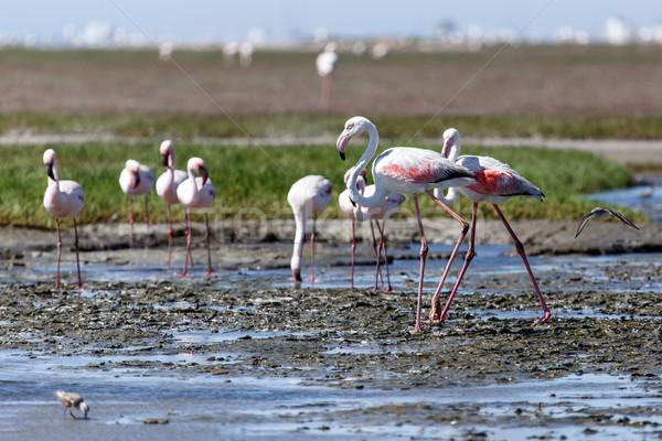 фламинго Намибия птица воды семьи океана Сток-фото © imagex