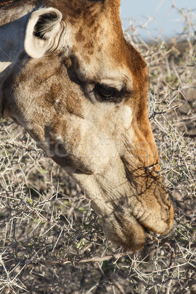 Giraffe Eating - Etosha Safari Park in Namibia Stock photo © imagex
